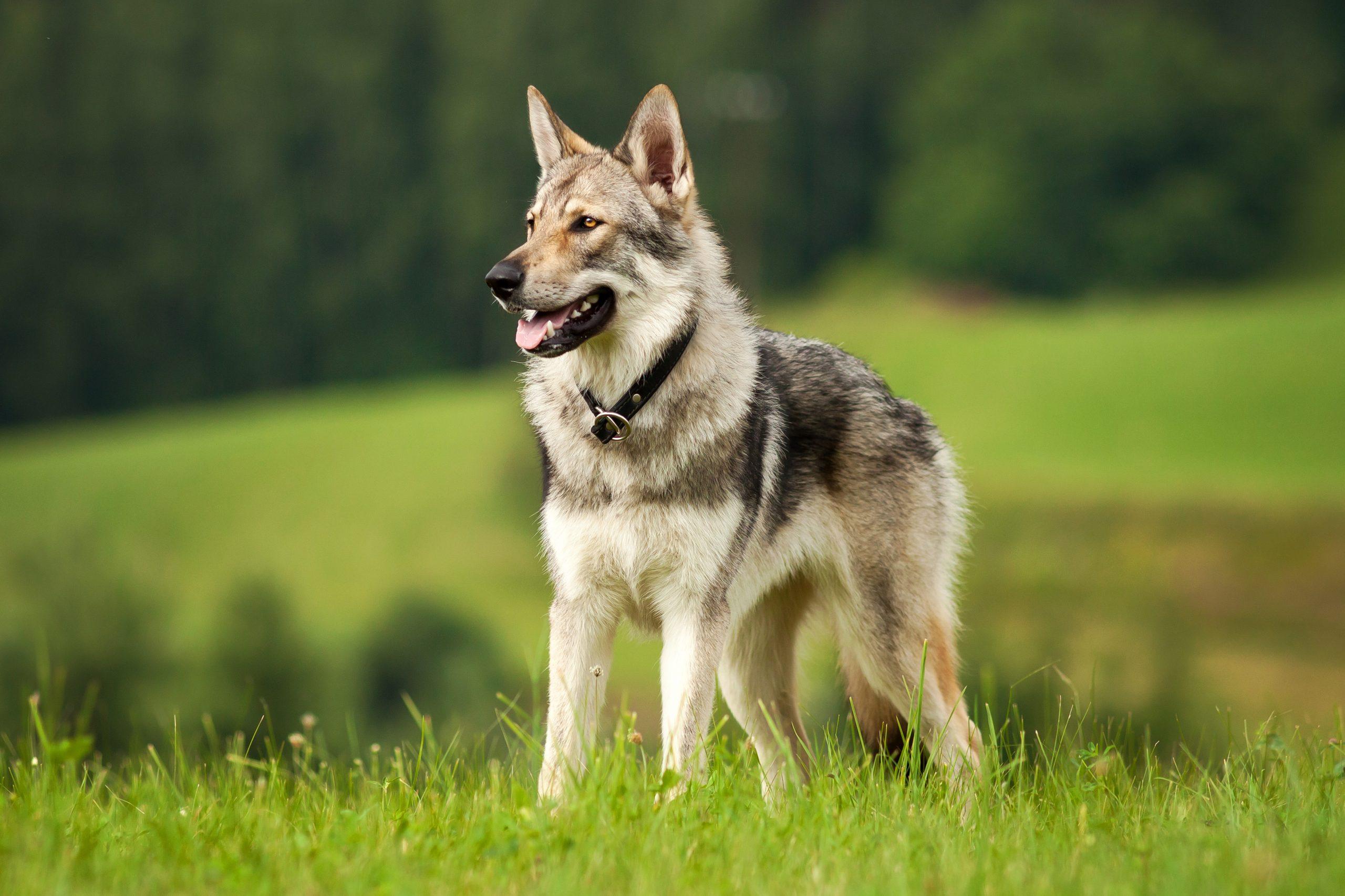 Patentino per cani speciali